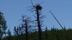 Yellowstone_baby_eagles_in_nest_2