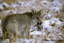 Coyotefeeding